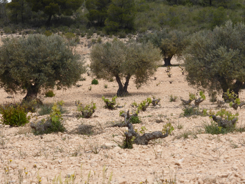 Weingärten Juan Gil für Blue- und Silverlabel